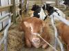 exposition d'animaux : les bovins