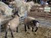 exposition d'animaux : les ovins