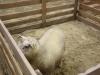 journee-agneau-de-pauillac-bordeaux-2015-085