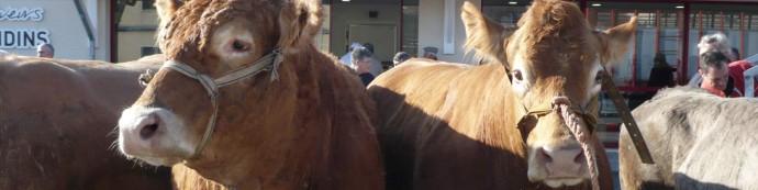 Section bovine, politique de travail