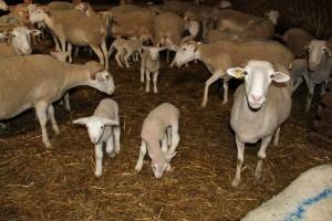 Section ovine, politique travail
