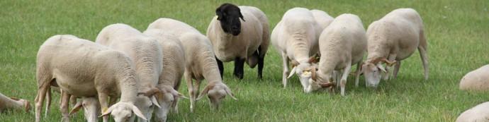 Les ovins