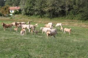 vaches de race blonde d'Aquitaine à vendre