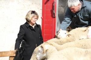 L'arrivée des brebis à Mérignac avril 2013