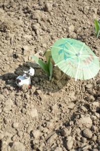 maïs semé début juillet 2013, sorti de terre 5 jours plus tard