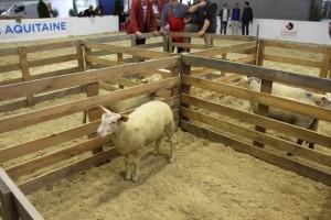 le concours de l'agneau de Pauillac - préparation