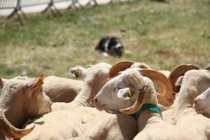 Fête de l'agneau à Pauillac 2015