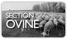 Section ovine